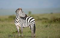 Plains Zebra surveys the Masai Mara, Kenya.