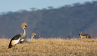 A pair of Grey Crowned Cranes and a black-backed jackal cross paths in Ngorongoro Crater.