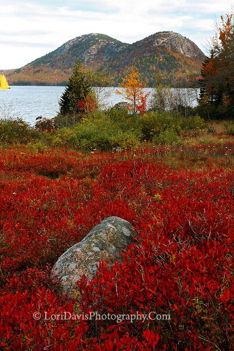 Autumn Blueberry Bushes at Jordan Pond  #A33