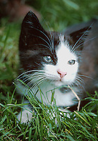 Portrait of a black and white kitten with blue eyes lying in some grass.