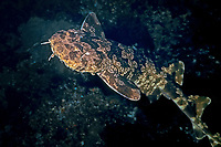Japanese wobbegong, Orectolobus japonicus, Izu ocean park, Sagami bay, Izu peninsula, Shizuoka, Japan, Pacific Ocean