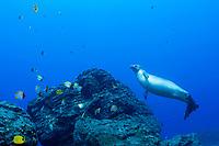 male Hawaiian monk seal, Neomonachus schauinslandi ( critically endangered endemic species ), with endemic milletseed butterflyfish, Chaetodon miliaris, and pyramid butterflyfish, Hemitaurichthys polylepis, Lehua Rock, Niihau, Hawaii, USA, Pacific Ocean
