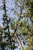Mato Grosso State, Brazil. Aldeia Kenpo (Kayapo). Angry vine  Ent spirit!