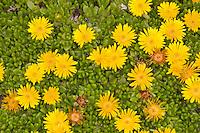 Lesotho-Mittagsblume, Lesotho-Stauden-Mittagsblume, Mittagsblume, Delosperma nubigenum, Yellow Ice Plant