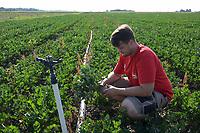 CROATIA, Belica, cellery farming at Dodlek Agro / KROATIEN, Belica, Kartoffelanbau bei Familienbetrieb Dodlek Agro, Andrija Dodlek, neben Kartoffeln werden auch Sellerie angebaut