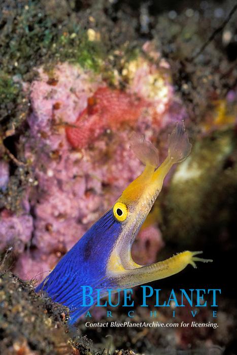 ribbon eel, Rhinomuraena quaesita, male - blue color phase, Tulamben Bay, Bali, Indonesia