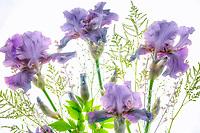 Bouquet of Iris flowers. Oregon