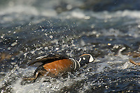 Harlequin Duck drake (Histrionicus histrionicus) on fast flowing mountain stream.  Western U.S.  Spring.