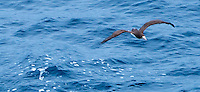 Brown Booby started cruising along with the ship on May 13th, and took up residence that day.