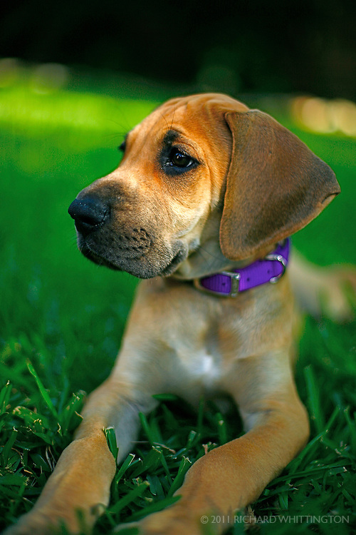 A great dane puppy stares off into space while lounging regally in the grass.