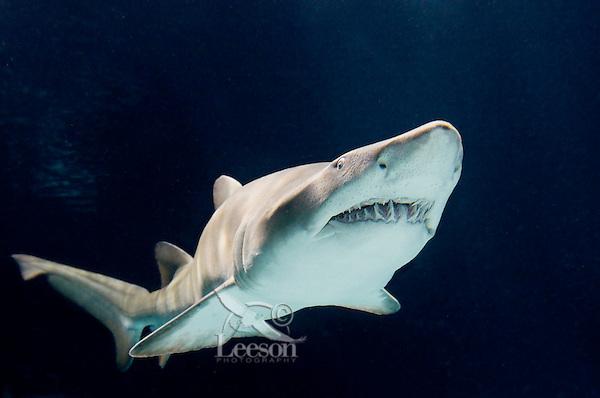 Sand Tiger Shark or Sand Shark (Carcharias taurus or Eugomphodus taurus)--some disagreement over classification.