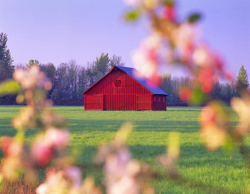 Barn and apple blossoms. Near Monroe, Oregon.