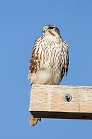 Adult Prairie Falcon (Falco mexicanus) on utility pole. Tule Lake National Wildlife Refuge, Siskiyou County, California. December.