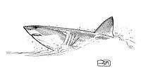 Porbeagle, Lamna nasus, horizontal breach, pen and ink illustration.