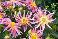 Dahlia Stargazer Mix, pink color