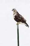 Rough-legged Hawk (Buteo lagopus) light morph female, Tule Lake National Wildlife Refuge, California