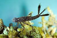 Gemeine Federlibelle, Blaue Federlibelle, Larve im Wasser, Nymphe, Platycnemis pennipes, white-legged damselfly