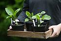 A box of aubergine 'Rosita' seedlings grown in pots, late June.