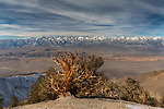 Bristlecone pine, Inyo Mountains. Sierra Nevada Mountains in distance, California