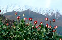 At 3000 meters hight, a Nooristani opium field in the Eastern of Afghanistan.