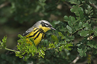 Magnolia Warbler, Dendroica magnolia, male, South Padre Island, Texas, USA