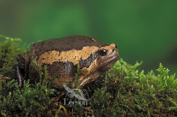 Malayan Narrow-Mouthed Frog aka Malaysian Painted Frog..Native to South East Asia. Captive..(Kaloula pulchra).