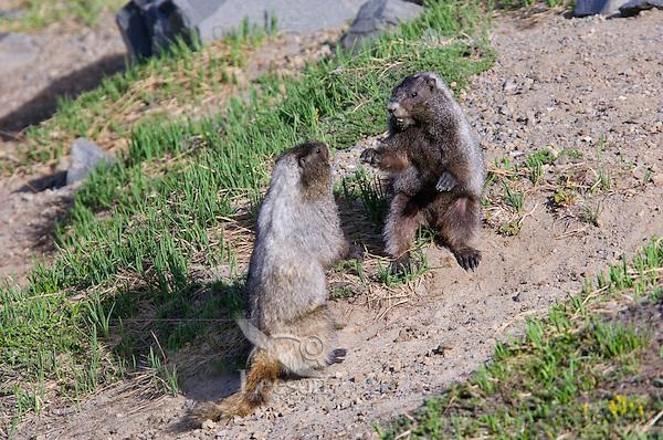 Hoary Marmot (Marmota caligata) wrestle in alpine area of Cascade Mountains, Pacific Northwest.  Summer.
