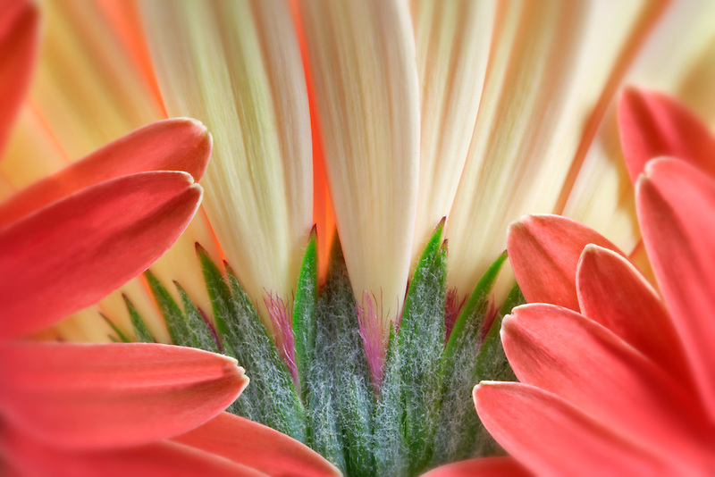 Gerbera Flower close up showing sepals and petals.