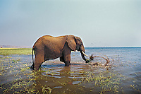 African Elephant (Loxodonta africana) pulling up grass growing along shore of  Lake Kariba, Matusadona National Park, Zimbabwe.  Once it pulls it up the elephant swishes the plant through the water to clean off the mud from around the roots before eating.