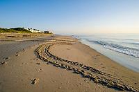 Loggerhead Sea turtle (Caretta caretta) tracks on the beach in Juno Beach, Florida, USA, Atlantic Ocean