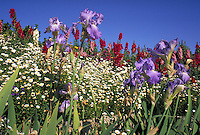 Flower garden including irises, snapdragons, and daisies with sky background. Flowers, garden, landscaping. Scottsdale Arizona USA.