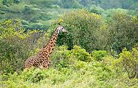 Masai Giraffe, Giraffa camelopardalis tippelskirchii, in browsing Arusha National Park, Tanzania