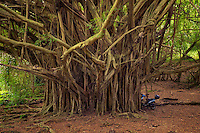 Banyon Tree. Hawaii, The Big Island.