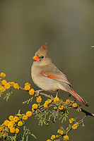Northern Cardinal (Cardinalis cardinalis), adult female on blooming Huisache tree (Acacia farnesiana), Dinero, Lake Corpus Christi, South Texas, USA