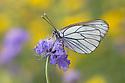 Black Veined White butterfly (Aporia crataegi)