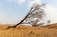 A tree in the lower reaches of the Yellow River estuary which marks the southernmost boundary of Bohai Bay. The nationally protected estuary region faces severe threats from rising sea levels which have already impacted the area. Shandong province, China. 2019