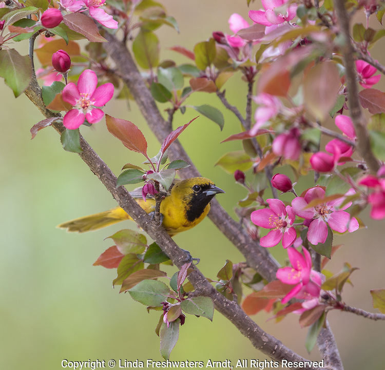 Immature male orchard oriole in a crabapple tree in northern Wisconsin.