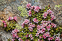 Trailing / Mountain Azalea {Loiseleuria procumbens} in flower on mountainside. Nordtirol, Tirol, Austrian Alps, Austria, 2500 metres, July.