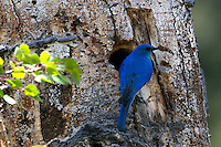 This male Mountain Bluebird's (Sialia currucoides) breeding plumage is brilliant blue as he enters the nest.