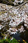 PRUNUS SP., WEEPING JAPANESE CHERRY TREE