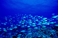 The Oval Chromis ( Chromis ovalis ) often swim in large schools on Hawaii's coral reefs.
