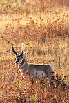 Pronghorn Antelope buck in Montana