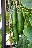 Cucumbers - grafted, vegetables growing on supports
