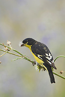 Lesser Goldfinch, Carduelis psaltria, black-backed male eating seeds of Spiny Sow-Thistle (Sonchus asper), Uvalde County, Hill Country, Texas, USA, April 2006