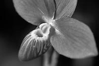 Orchid. Phrag. (besseae 'Haven' x besseae 'Smokin')