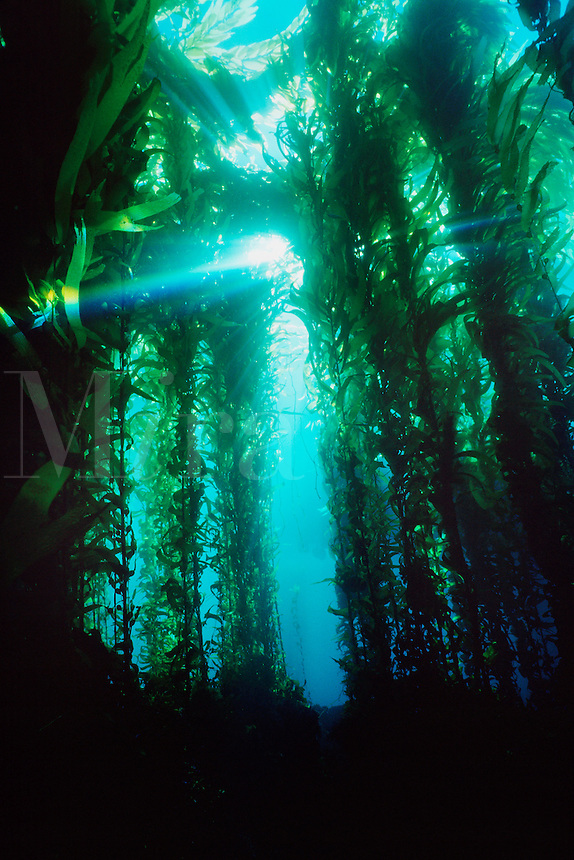 Giant kelp, Macrocystis pyrifera,  California, Pacific Ocean