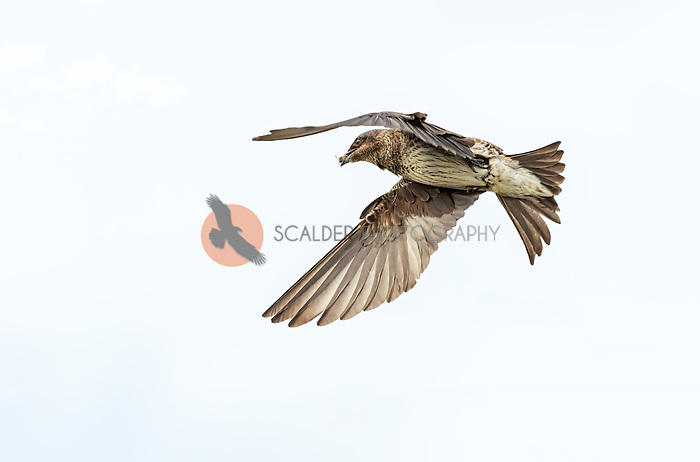Female Purple Martin in flight with insect prey in beak against a gray sky