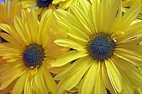 Flores. Crisântemo ( Dendranthema grandiflorum). SP. Foto de Manuel Lourenço.