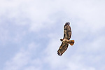 Escondido, California; a single red-tailed hawk flying overhead on a partly cloudy morning