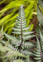 Japanese Painted Fern leaf Anthyrium 'Wildwood Twist' in shade garden